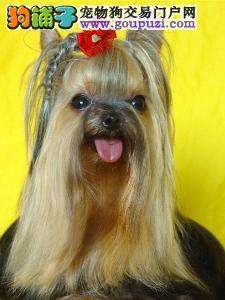 康泰名犬出售纯种超小体金头银背蓝背约克夏犬多少钱