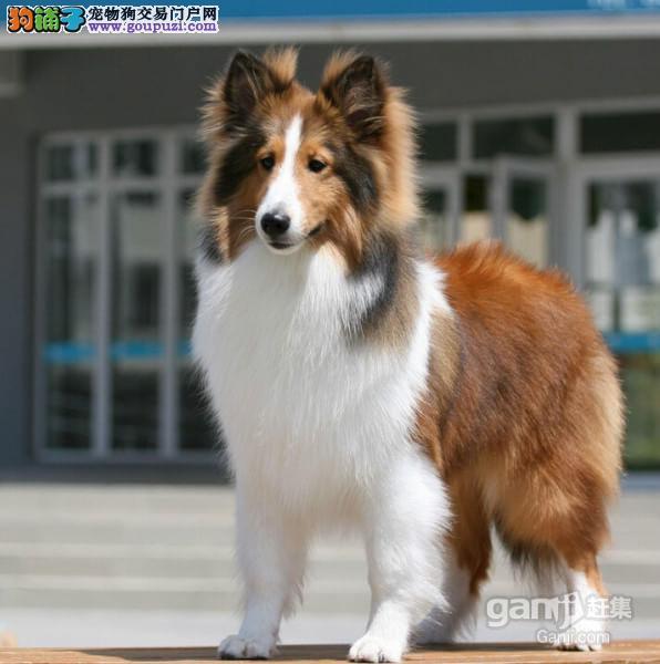 康青名犬出售闲置喜乐蒂多少钱喜乐蒂犬多少钱