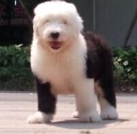 康青名犬出售纯种古代牧羊犬多少钱古代牧羊犬价格