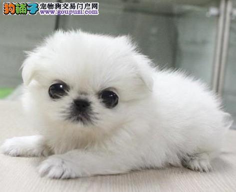 康青名犬出售纯种京巴犬多少钱纯种京巴多少钱京巴价格