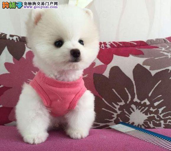 黄白色博美宝宝 哈多利球型博美幼犬可上门挑选
