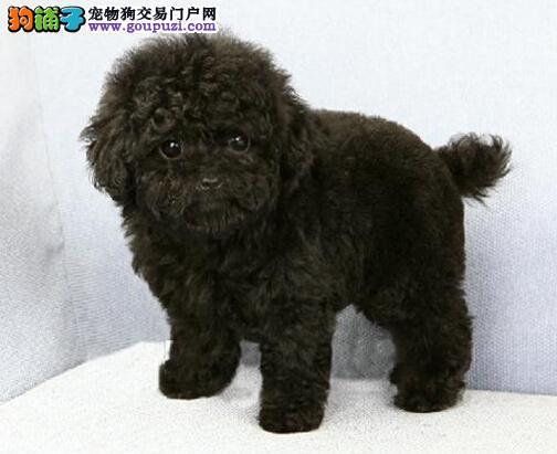 通保名犬出售茶杯犬小体泰迪犬多少钱纯种茶杯泰迪犬