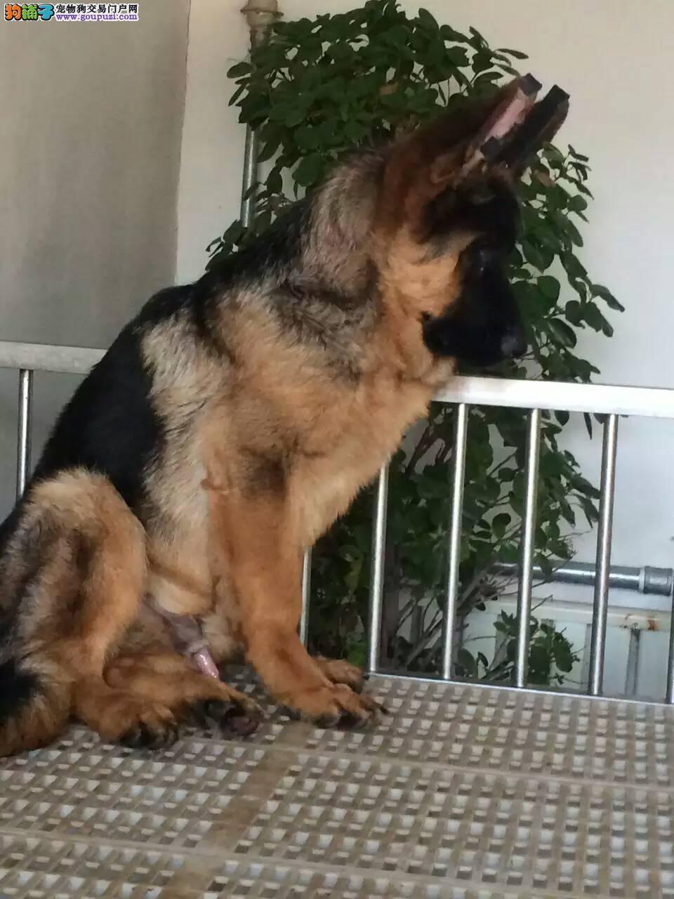 通保名犬出售弓背黑背警犬德国牧羊犬纯种狼狗多少钱
