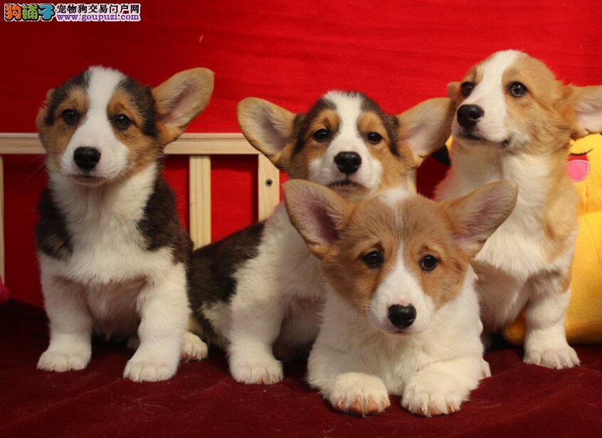 精品纯种柯基犬幼犬出售健康保障疫苗齐全可上门选购