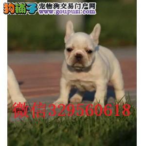 鞍山哪里有卖法斗 奶油色法斗幼犬出售 鞍山斗牛犬出售
