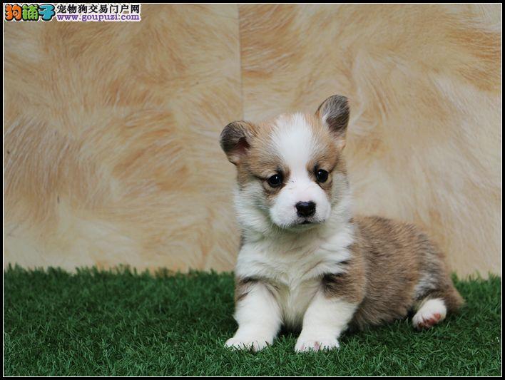 石家庄哪里有卖柯基犬 纯种两色三色柯基多少钱