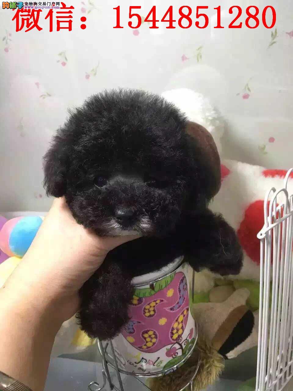 乌鲁木齐哪里有泰迪卖 纯种灰色泰迪 小体茶杯灰色泰迪