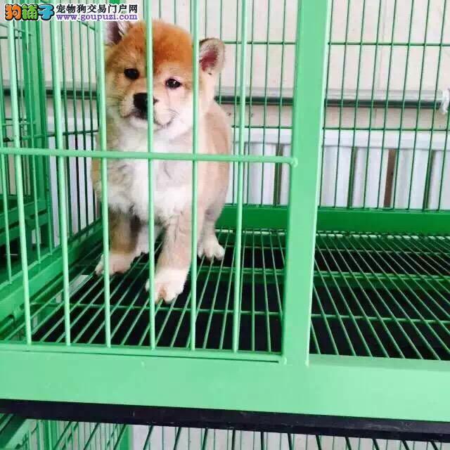 乌鲁木齐哪里有卖纯种柴犬 日系柴犬多少钱柴犬犬舍