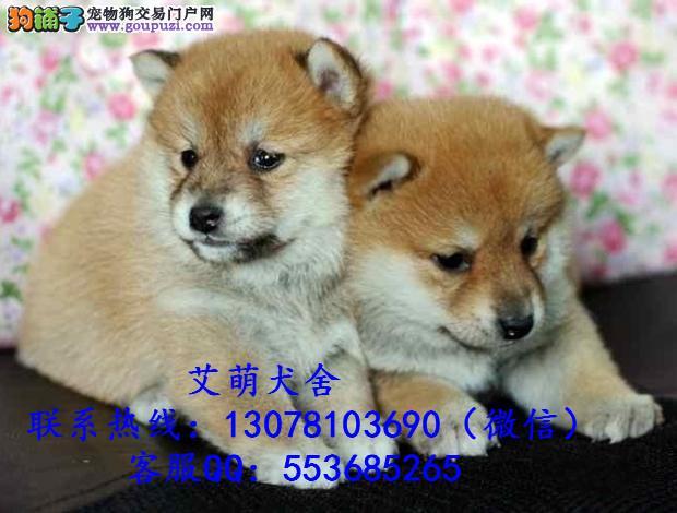 深圳出去多少钱可以买到 广州哪里有纯种柴犬
