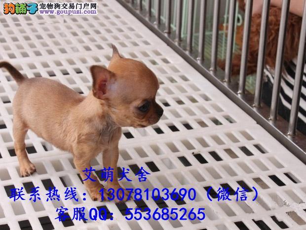深圳吉娃娃犬多少钱一只 广州哪里有卖吉娃娃犬