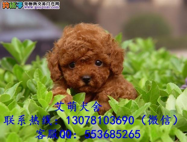 深圳哪有茶杯犬卖,广州哪有茶杯犬卖图片,