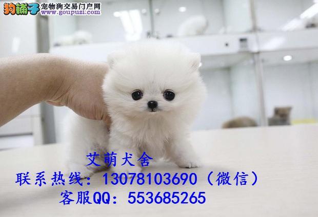 深圳边度有卖博美犬 广州博美犬几钱一只