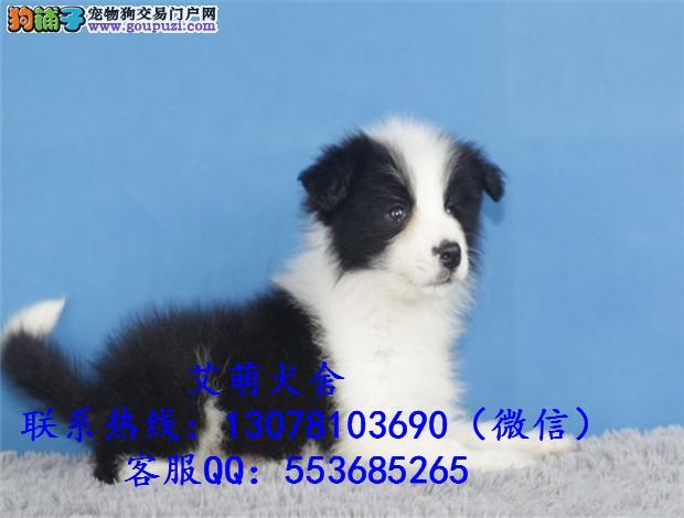 深圳什么地方有卖边境牧羊犬边牧一般多少钱