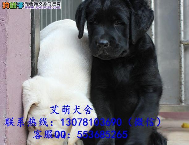 深圳拉布拉多犬价格_广州拉布拉多犬多少钱一只
