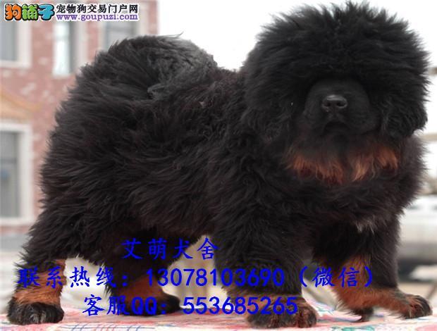 深圳哪里有藏獒卖.大概多少钱一只 广州哪里有卖藏獒犬