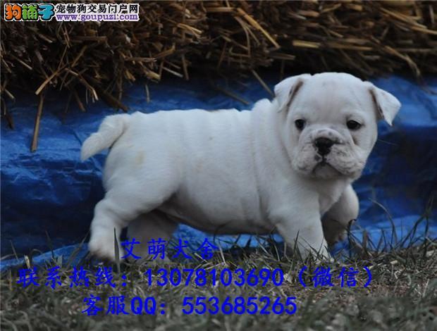 深圳哪里有卖法国斗牛犬 法斗多少钱一只