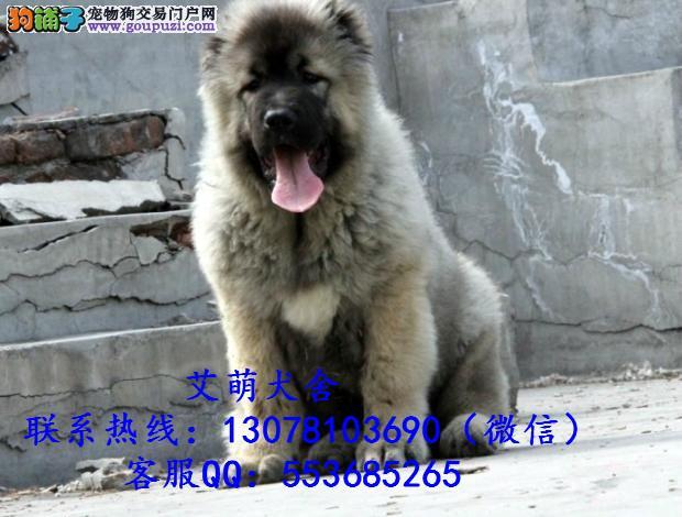 深圳哪里买狗好,广州哪里有卖高加索,广州哪里有狗场