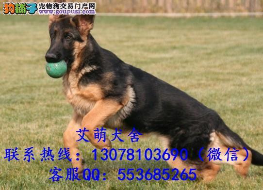 深圳哪里有卖德国牧羊犬 广州德牧狼狗多少钱一只