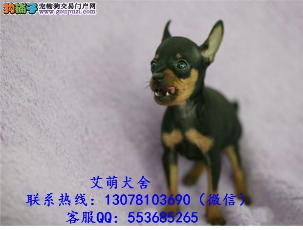 深圳哪里有纯种小鹿犬 广州哪里有卖小鹿犬 林记狗场