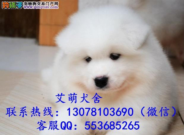 深圳哪里有卖萨摩耶 广州萨摩耶一只多少钱