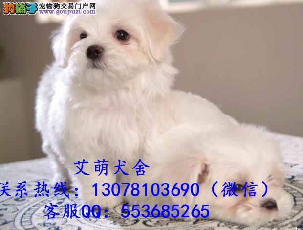 深圳哪里有卖比熊宠物狗 纯种比熊一只价格