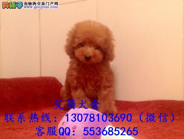 深圳哪里有卖泰迪熊 广州泰迪熊多少钱一只