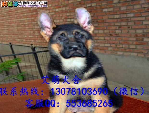 深圳哪里有卖德国牧羊犬广州哪里买德牧最好