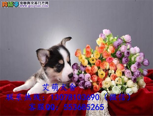 深圳哪里有卖柯基犬柯基犬多少钱 广州边度有卖柯基犬