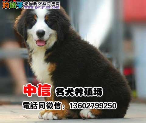 纯种大骨架伯恩山幼犬出售 犬舍直销可上门挑选包