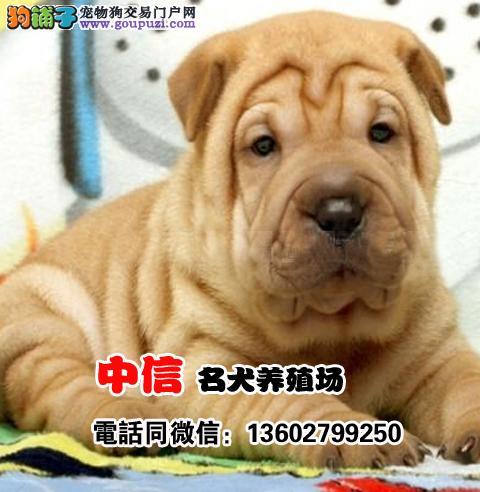 高品质沙皮狗幼犬 血统纯正 体型完美 健康保障