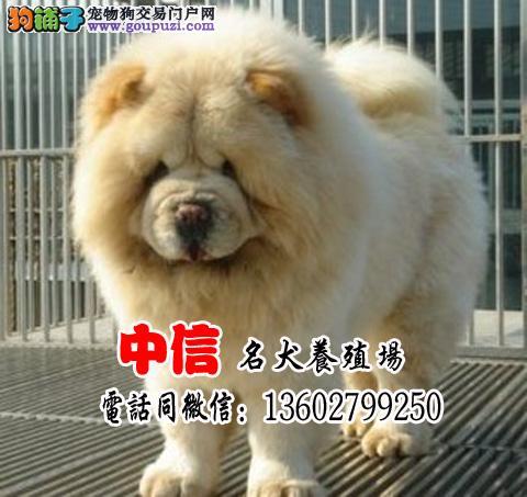 纯种松狮幼犬、先检测健康再购买、饲养有问题可换