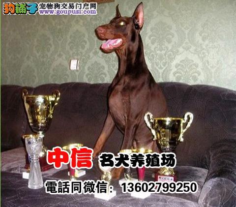 专业繁殖 德系杜宾幼犬出售 公母都有 种犬对外