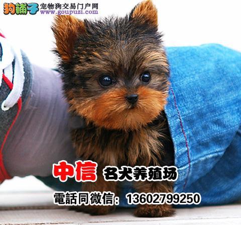 金头银背约克夏幼犬、公母均有、疫苗齐全包换