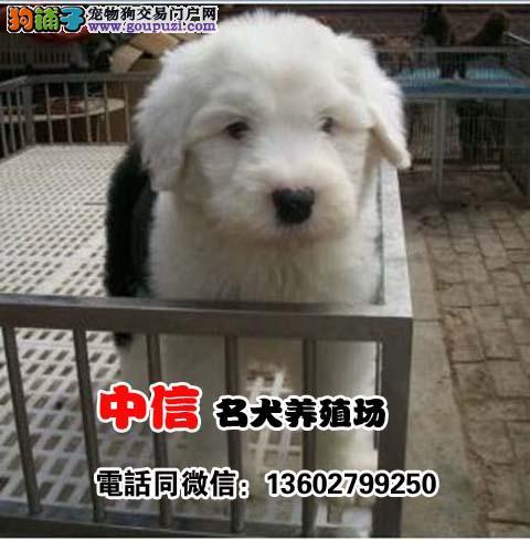纯种古代牧羊犬白头通背双蓝眼特价出售签协议保健