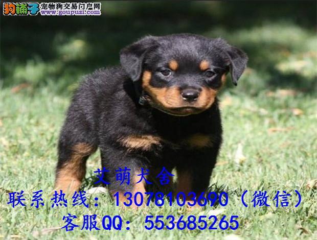 深圳哪里有卖罗威纳犬 深圳哪里能买到纯种罗威纳
