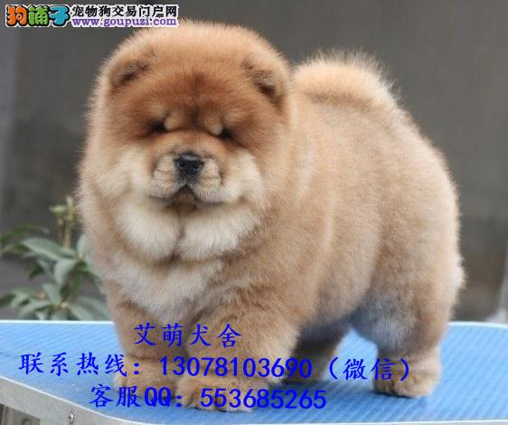 深圳哪里有松狮犬卖 深圳松狮犬一只大概多少钱