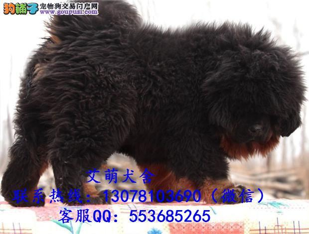 深圳哪里有罗威纳出售 龙岗区什么地方有卖狗