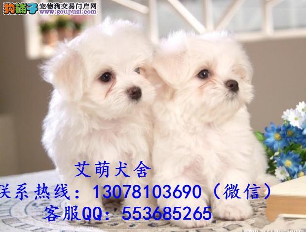深圳比熊犬价格_深圳比熊犬多少钱一只_纯种比熊犬