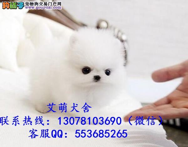 深圳哪里有卖小体茶杯博美价格多少俊介博美价钱多少