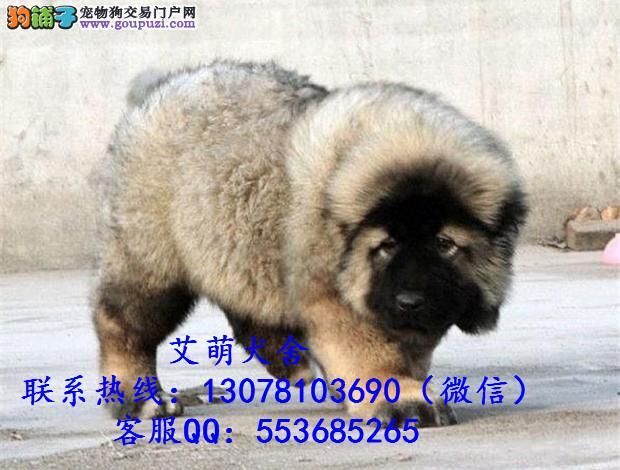 深圳什么地方有卖高加索犬,一只高加索什么价钱