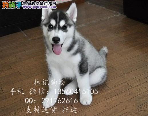 深圳哪里有卖哈士奇犬 江门去哪里买哈士奇犬