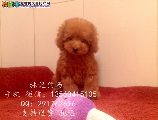 深圳哪里有卖茶杯犬 江门贵宾犬价格