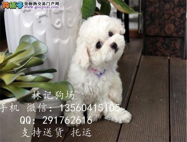 深圳售纯种可爱雪白比熊江门哪里有卖比熊犬