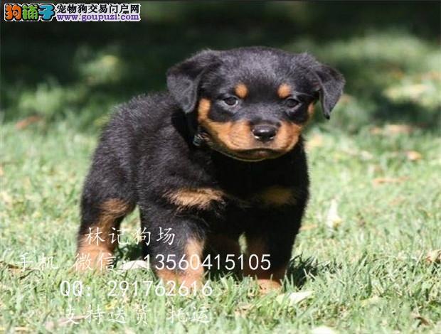 深圳市哪里有罗威纳出售 德系罗威小狗价格多少