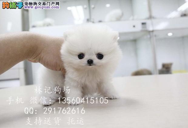 深圳哪里有卖纯种博美犬 出售球体哈多利博美小狗