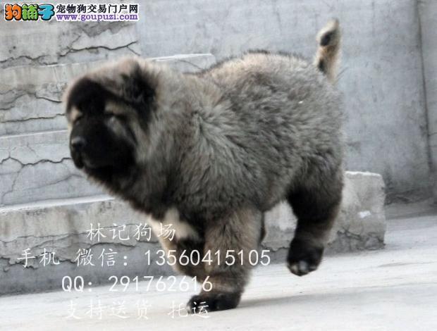 深圳哪里有卖高加索犬 高加索犬多少钱一只