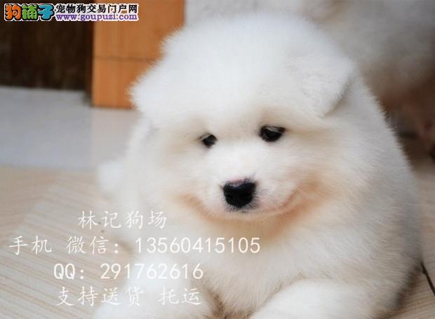 深圳哪里有卖萨摩耶犬高品质澳版萨摩耶价格林记狗场