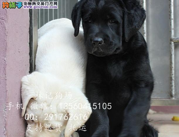 深圳拉布拉多犬去哪买 江门哪里有卖拉布拉多