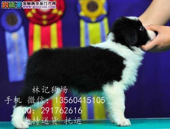 深圳市纯边境牧羊犬价格多少。江门市哪里有卖边牧