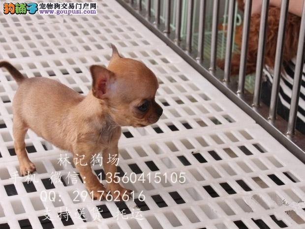 深圳哪里有狗场江门哪里有卖吉娃娃蓬江吉娃娃价格